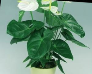 Anthurium: vzrejo in nego
