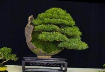 Kako rastu bonsai